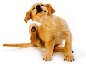 Передаются ли блохи от собаки к человеку