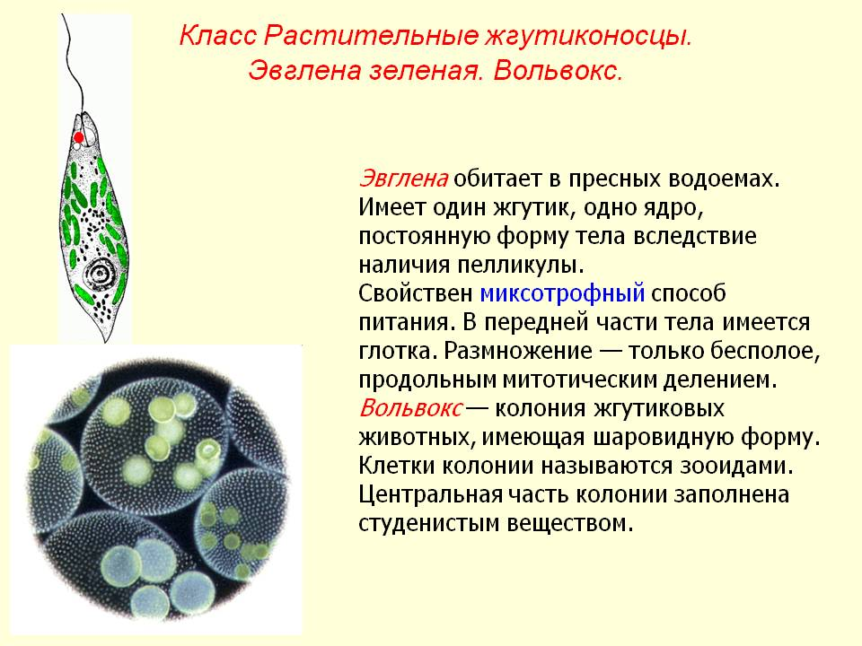 Жгутиковые