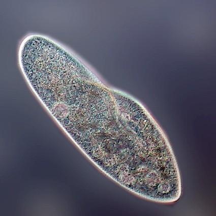 Внутриклеточные паразиты