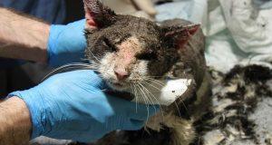 Саркоптоз у кошек. Диагностика, лечение и профилактика