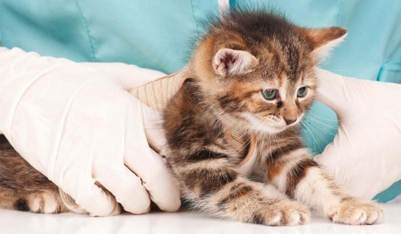 Как дать кошке таблетку от глистов
