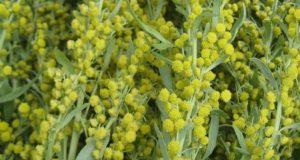 Полынь горькая - лечебные свойства травы