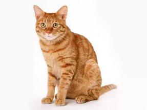 Аскаридоз у кошек