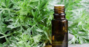 Полынь горькая - применение в медицине и рецепты