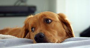 Анкилостомоз у собак: признаки, симптомы и лечение